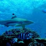 fiji köpekbalığı