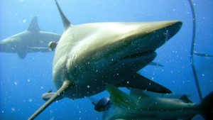 Güney Afrika Köpekbalıkları